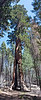 Yosemite National Park. Clothespin Tree Pano from the Mariposa Grove.<br /> <br /> Photo by Dennis