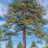 Pine (Pinus spp.) at Taft Point