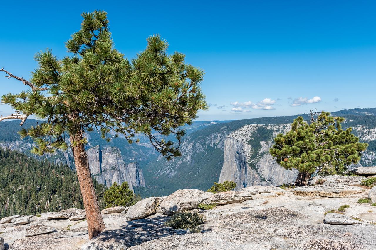 Pine (Pinus spp.) on Sentinel Dome. Yosemite National Park, CA.
