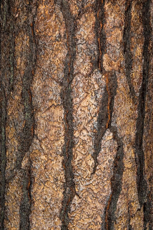 Sugar pine (Pinus lambertiana), Yosemite Valley, CA.