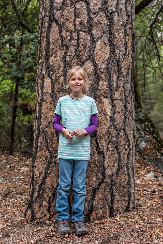 Sugar pine (Pinus lambertiana) on the track to Mirror Lake.
