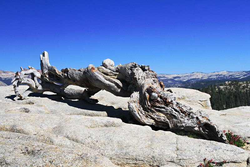 Tree Trunk on Sentinel Dome