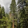 Giant sequoia (Sequoiadendron giganteum). Tuolumne Grove, Yosemite National Park, CA.