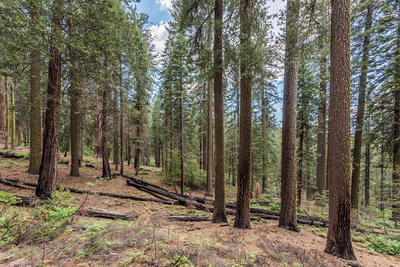 Pine forest. Tuolumne Grove, Yosemite National Park, CA.