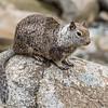 California ground squirrel (Otospermophilus beecheyi). Yosemite Falls, Yosemite National Park, CA.