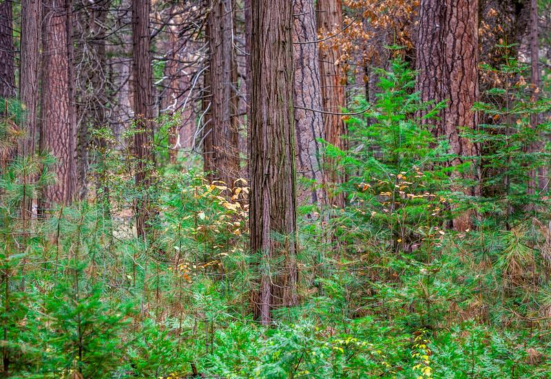 Yosemite Forrest