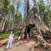 Tunnel Tree. Giant sequoia (Sequoiadendron giganteum). Tuolumne Grove, Yosemite National Park, CA.