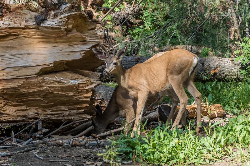 Mule deer (Odocoileus hemionus). Tuolumne Grove, Yosemite National Park, CA.