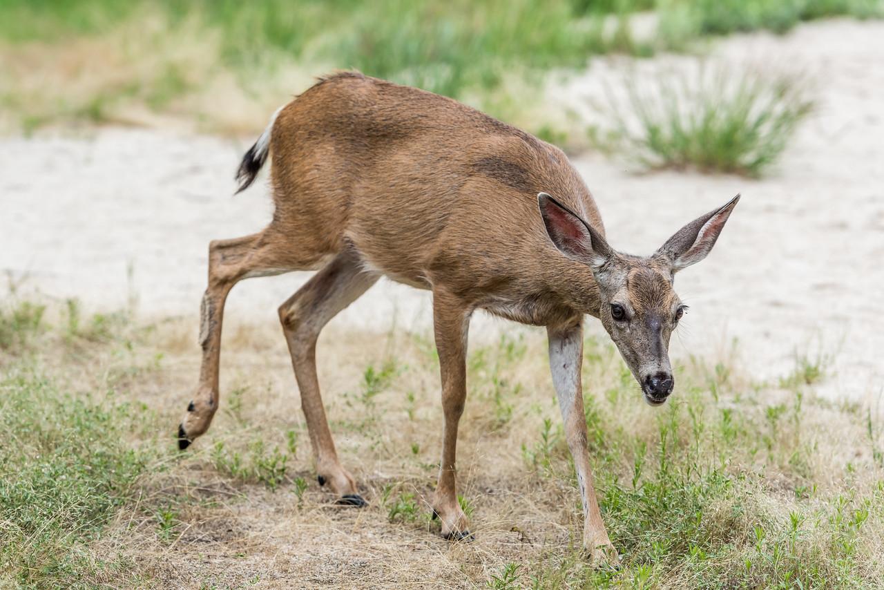 Mule deer (Odocoileus hemionus). Mirror Lake, Yosemite National Park, CA.