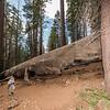Fallen giant sequoia (Sequoiadendron giganteum). Tuolumne Grove, Yosemite National Park, CA.