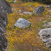 Meadow Flowers near Hetch Hetchy