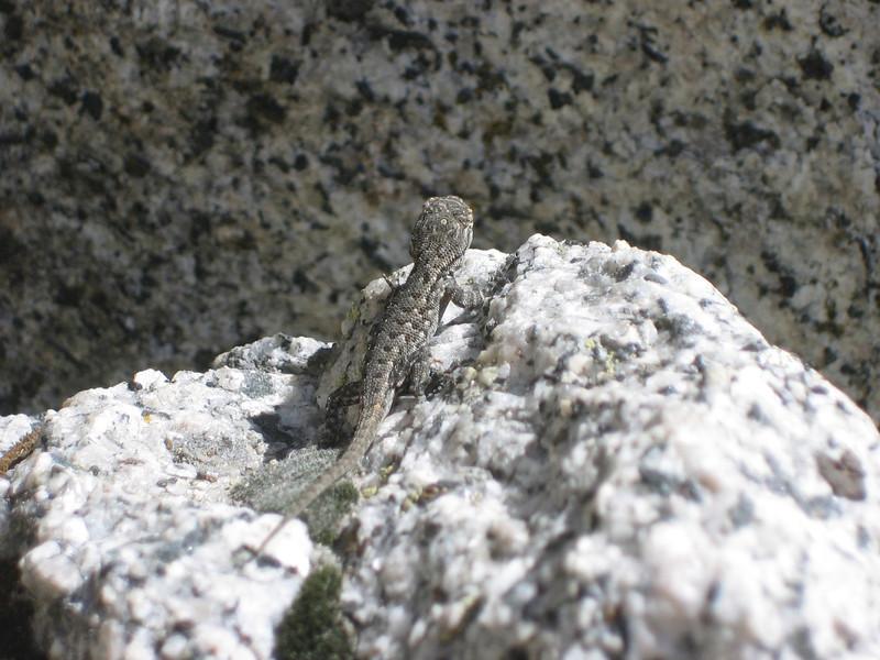 Lizard on Granite