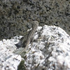 Lizard on Granite