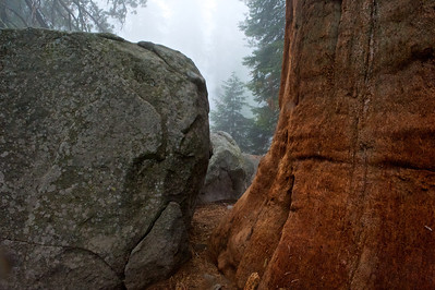Boulder and Sequoia in the Fog, Sequoia National Park, California