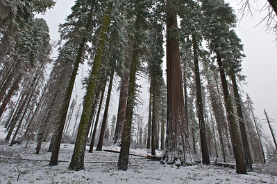 Forest in the Snow, Sequoia National Park, California