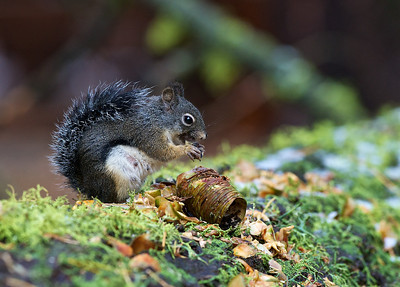 California Gray Squirrel, Sequoia National Park, California