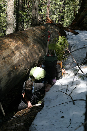 Ever the picture of grace, Cliff and Rory attempt to crawl under a sequoia that's fallen across the trail.