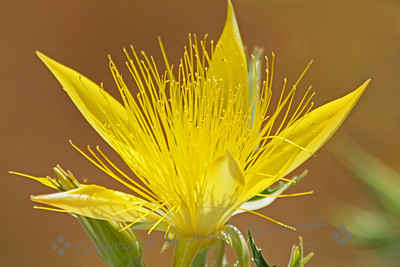 Giant Blazing Star ~ This pretty flower was photographed at Mono Lake, California.