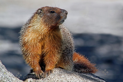 Yellow-bellied Marmot ~ This female marmot was standing watch outside her burrow, where her babies were hidden.  She had a wonderful coat of thick fur.