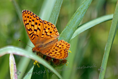 Yuba Fritillary ~ This pretty butterfly was probably the most common one I saw in the Sierras this August.