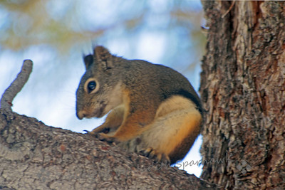 Douglas Squirrel ~ This squirrel, also called a Chickaree, has ear tufts and very big eyes.  This photograph doesn't show its bushy gray tail.  The name Chicaree comes from its loud call.