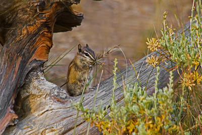 Least Chipmunk at Breakfast ~ Outside the Visitor's Center at the Bristlecone Pines, many of these tiny Least Chipmunks were jumping around and  eating grass seeds. This one sat still long enough for 2 or 3 quick shots.