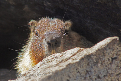 Peeking Marmot ~ This female Yellow-bellied Marmot had hidden below the rocks when I hiked into view.  She then peeked up over the top of the rock near her burrow.  As she saw I meant no harm, she came out and posed quite nicely.  She was at Bridal Veil Creek Campground in Yosemite.