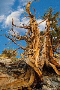 Bristlecone Pine ~ Visiting the Bristlecone Pine National Park in the White Mountains, east of the Sierras, I  photographed many of the old gnarled trees.  Some of the trees in this park are up to 4000 years old or more, and are amazing in that they can live and grow (slowly) at over 10,000 feet elevation, in poor soil and under harsh weather conditions.