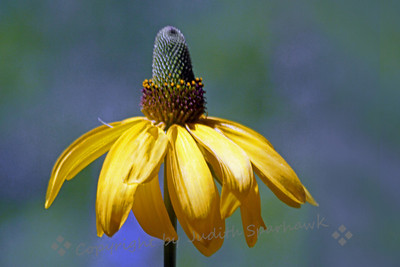 California Cone Flower ~ I found this wildflower at Chevron Meadow in Yosemite National Park.