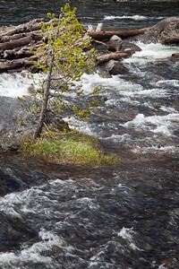 Tree and roadside creek, Yellowstone