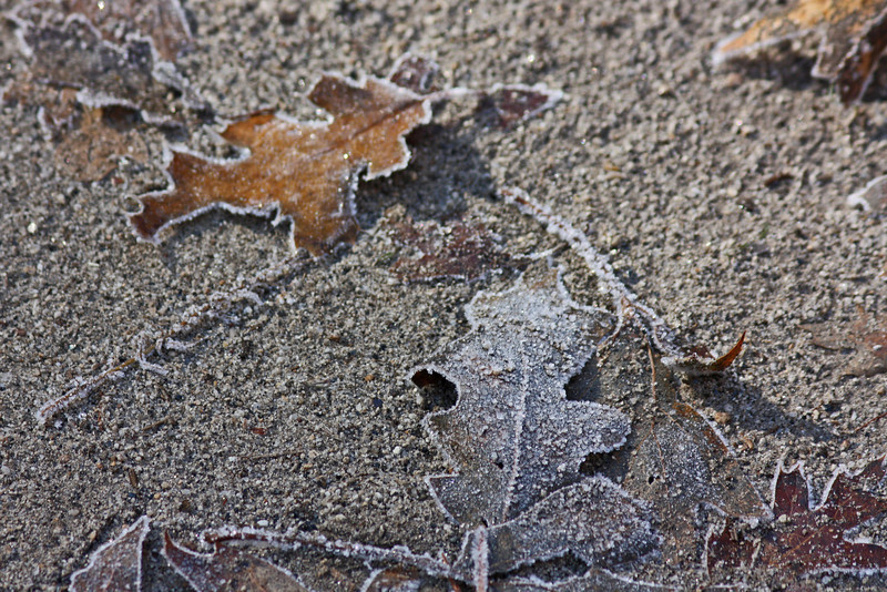Icy fallen leaves