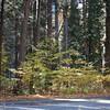 Yosemite understory