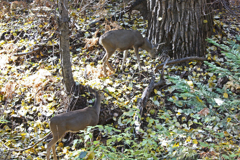 Yosemite Falls trail - foraging deer