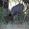 Grazing buck
