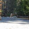 Foraging buck - by Yosemite Falls trail