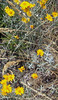 Woolly Sunflower (Eriophyllum lanatum)