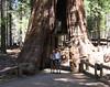 """The """"Walk-thru"""" Sequoia"""