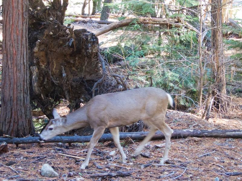 A deer near Happy Isles<br /> Yosemite - 2016-03-15 at 14-22-05