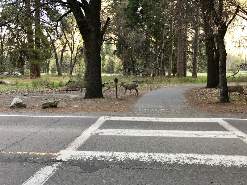 Deer near Yosemite Falls Shuttle Stop
