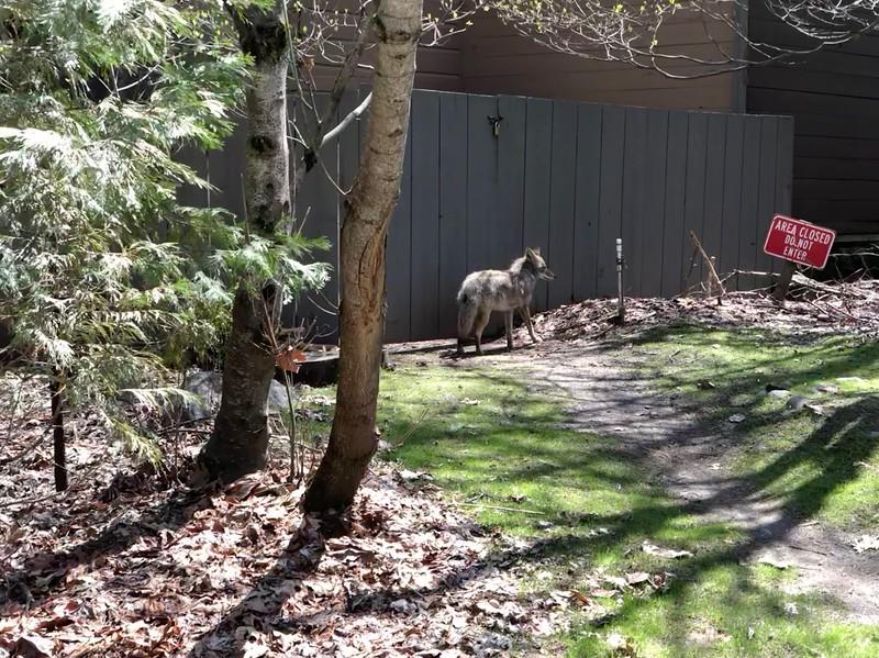 Coyote at Half Dome Village