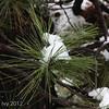 Ponderosa pine with snow