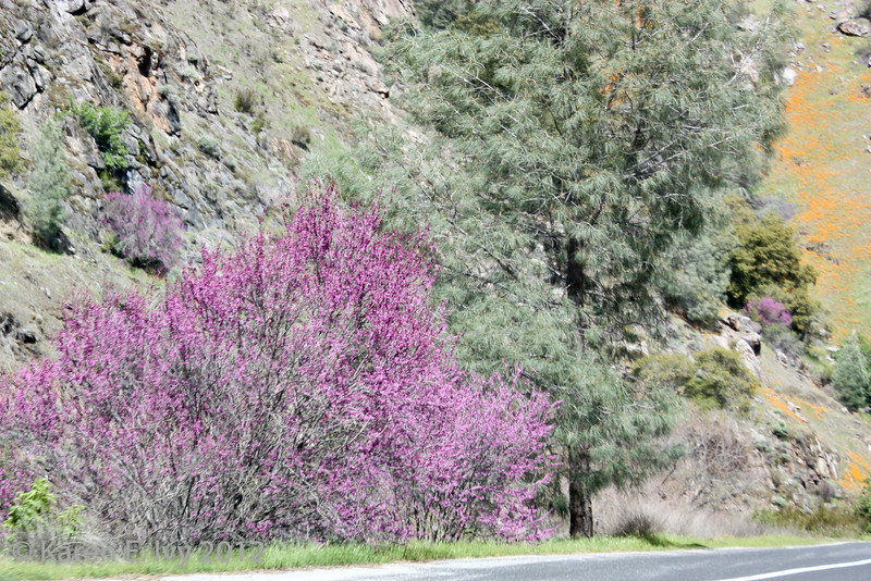 Redbud and poppies, Highway 140