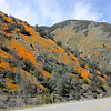 Poppies, Highway 140