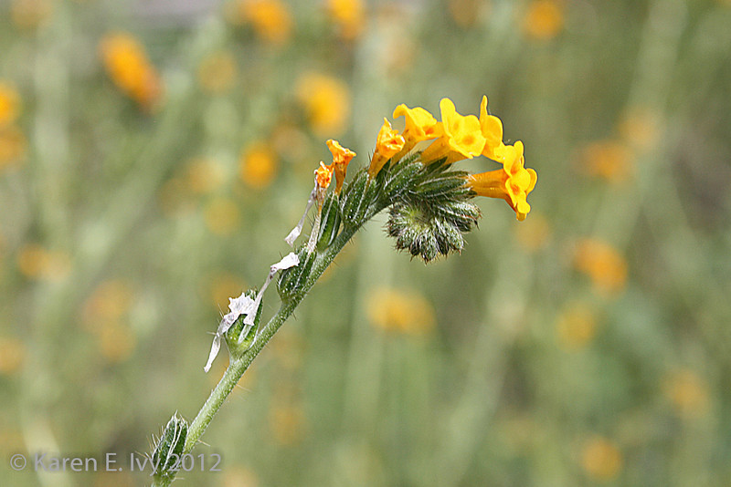 Fiddleneck, Railroad Flat