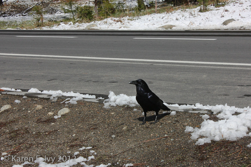 Crow by snowy road, Yosemite