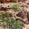 Poison oak on the rocks, Railroad Flat