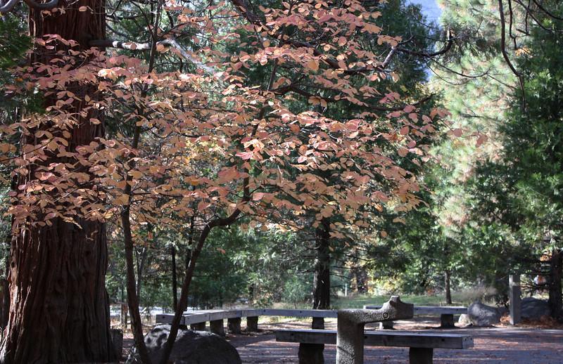 Dogwood near the visitor center