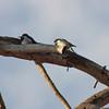 Woodpeckers on a dead tree