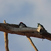 Woodpeckers on a dead tree