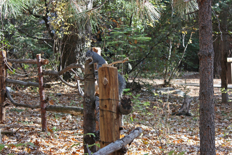 Grey squirrel on fence